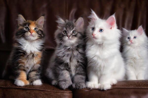 сколько живут кошки разных пород
