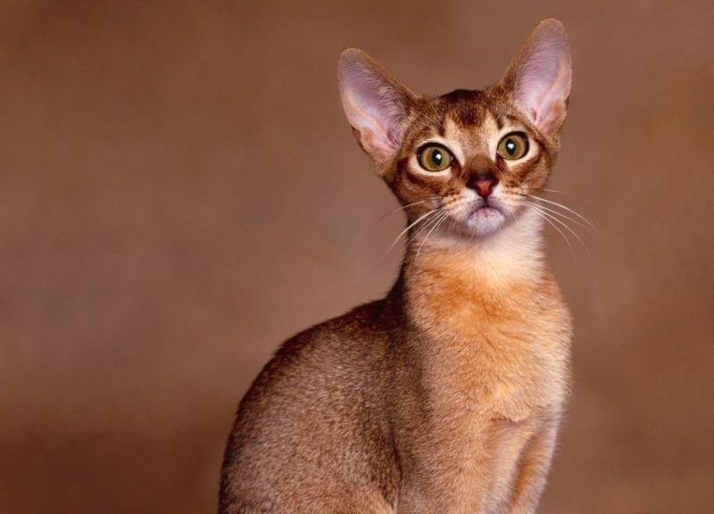 Абісинська кішка