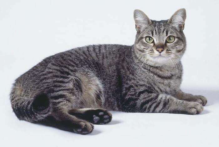 Азіатська кішка (таббі)