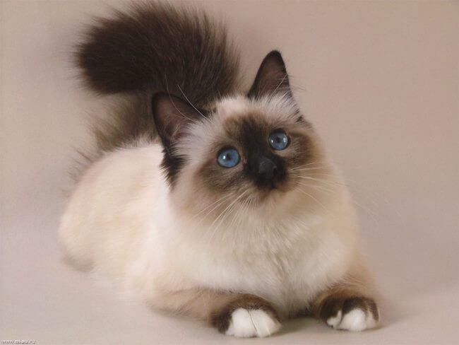 Балинезійська кішка