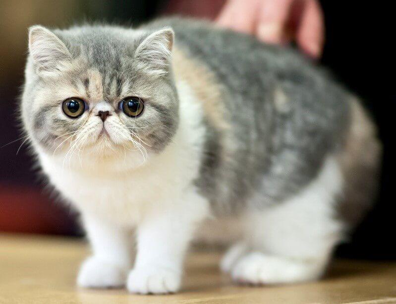 Екзотична кішка