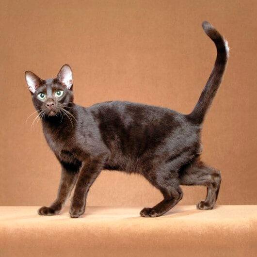 Гавана кішка