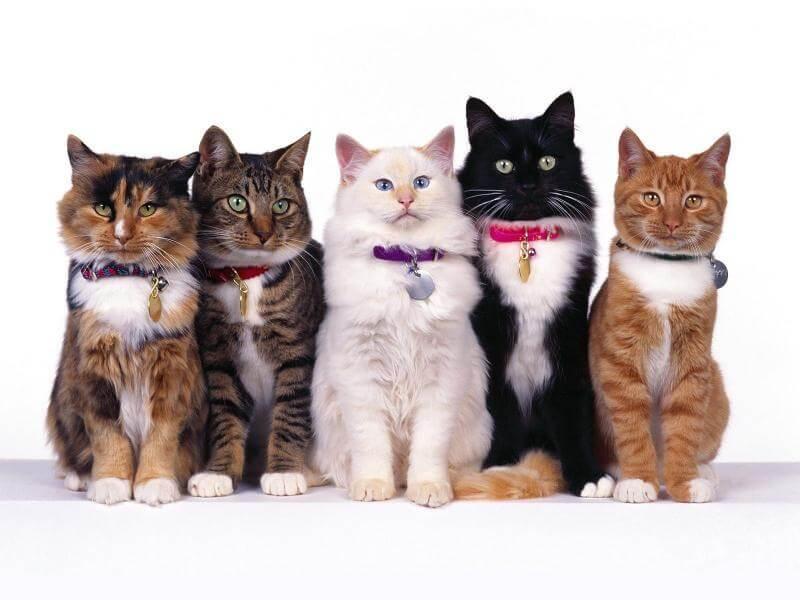 як визначити породу кішки