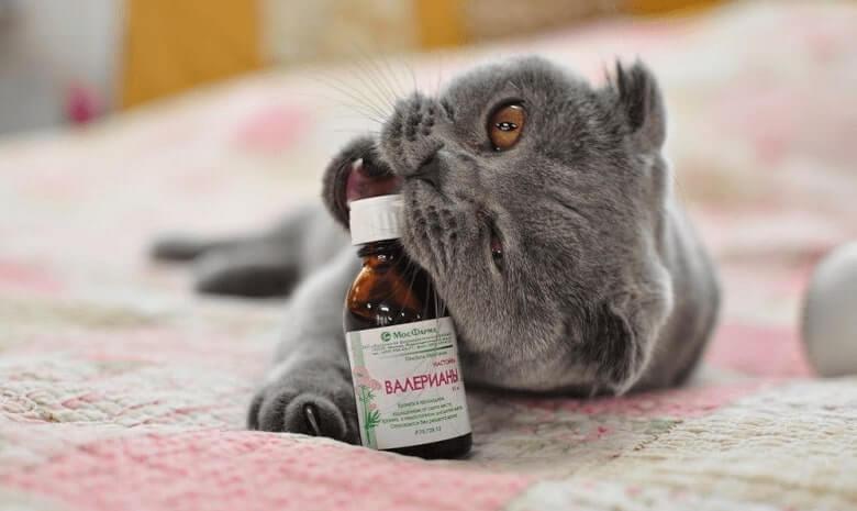 чи варто давати коту валер'янку?