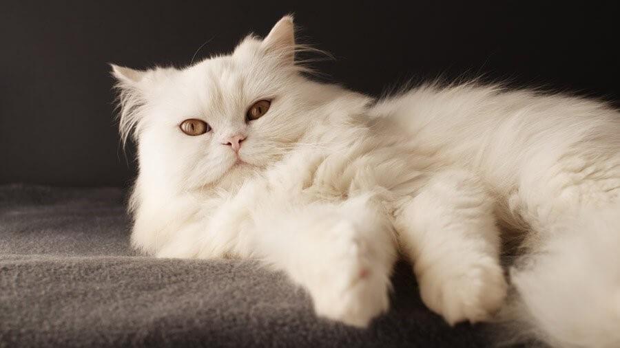 Перська кішка