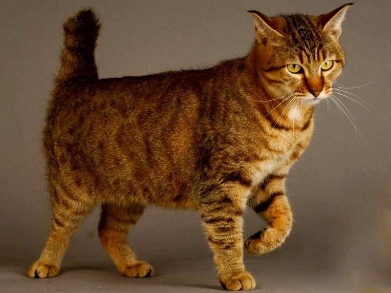 пикси боб порода кошек