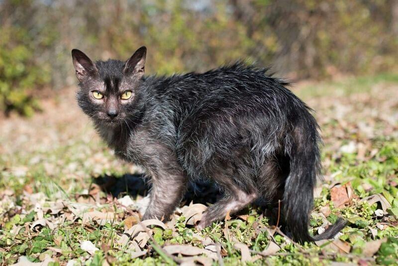 ликои порода кошек