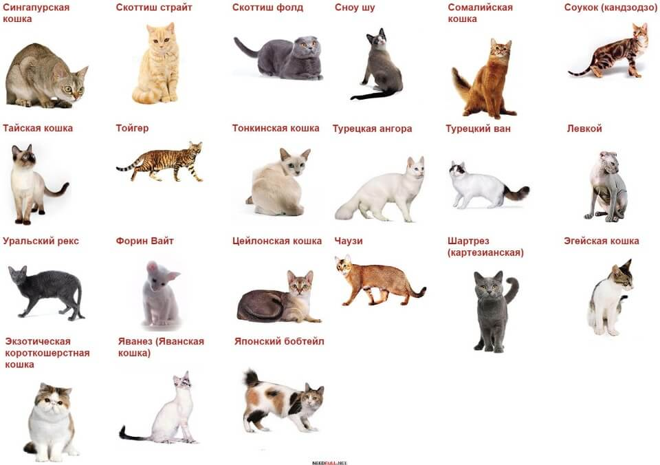 породи кішок фото