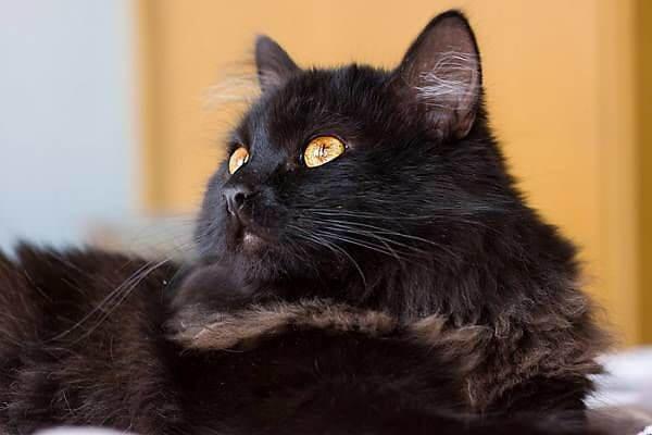 Тіффані кішка