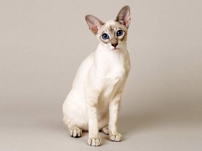 Сінгапурська кішка