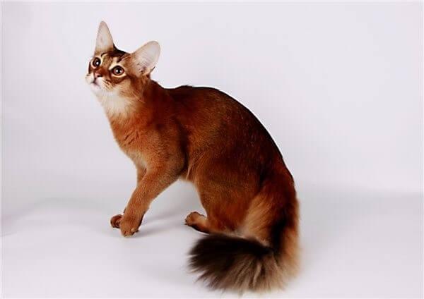 Сомалі кішка
