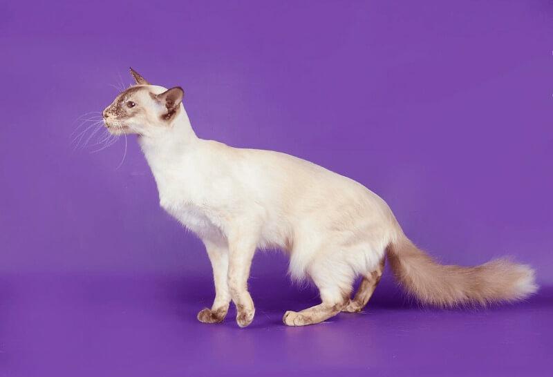 яванез порода кошек