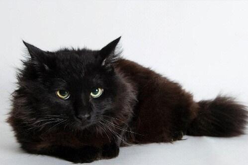 Йорк (Йоркська шоколадна кішка)