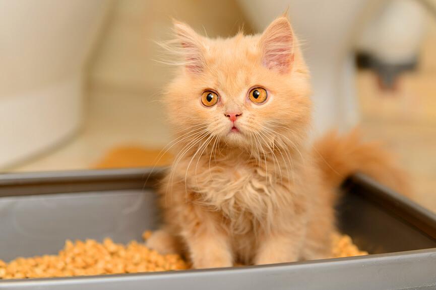 в каком возрасте приучать котенка к лотку