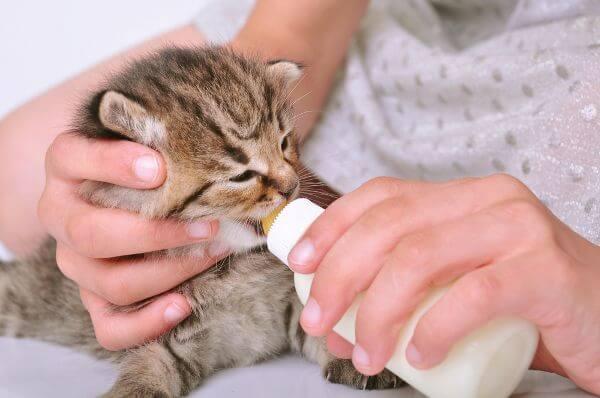 чим годувати місячне кошеня