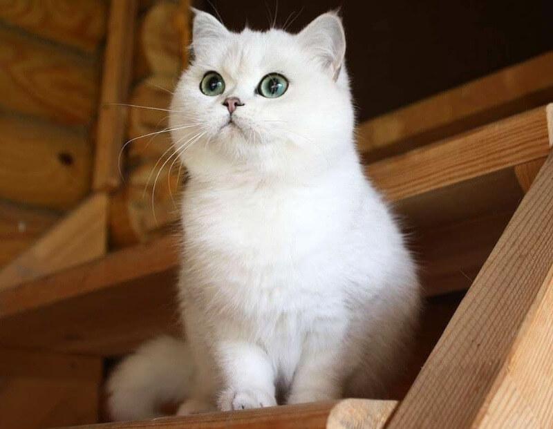 белая кошка шотландская прямоухая