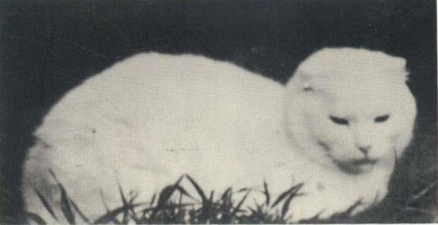 кішка Сьюзі