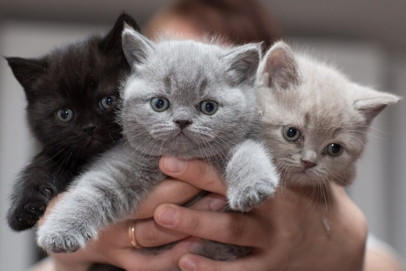 шотландські прямовухі кошенята