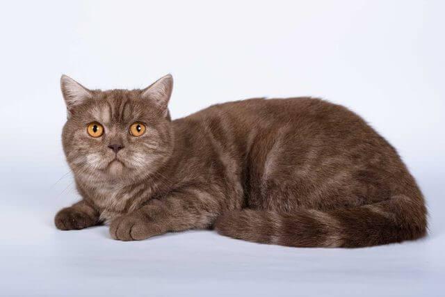Шотландская кошка шоколадного окраса