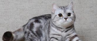 Скоттіш Страйт кішка