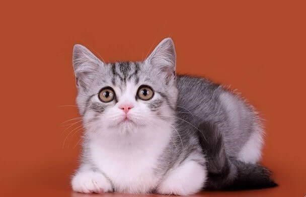 котята шотладские биколор