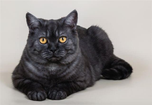 чорний кіт шотландський прямовухий