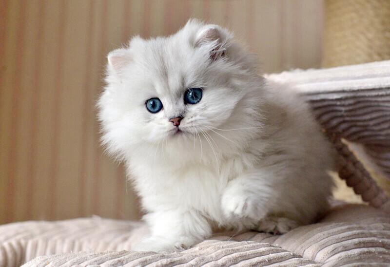 довгошерсте кошеня скоттіш страйт