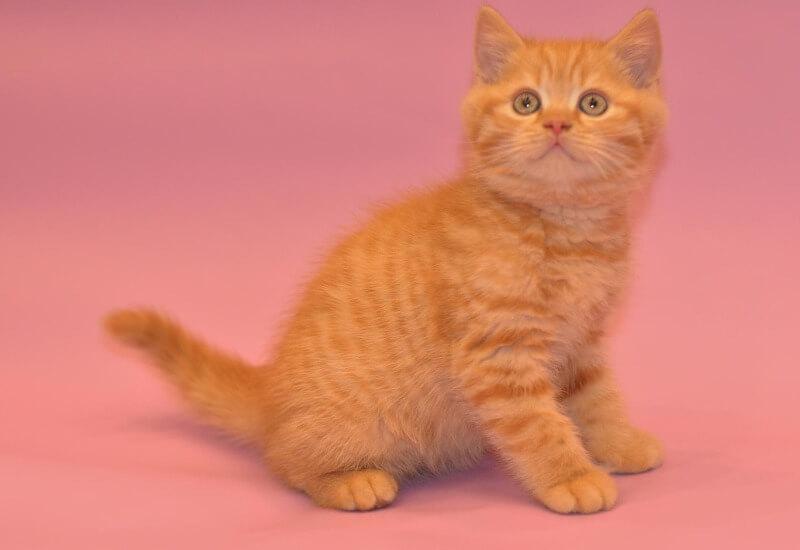 рыжий котенок скоттиш страйт