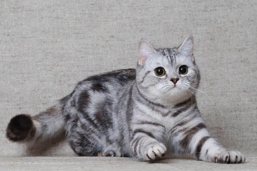 Скоттиш Страйт кошка