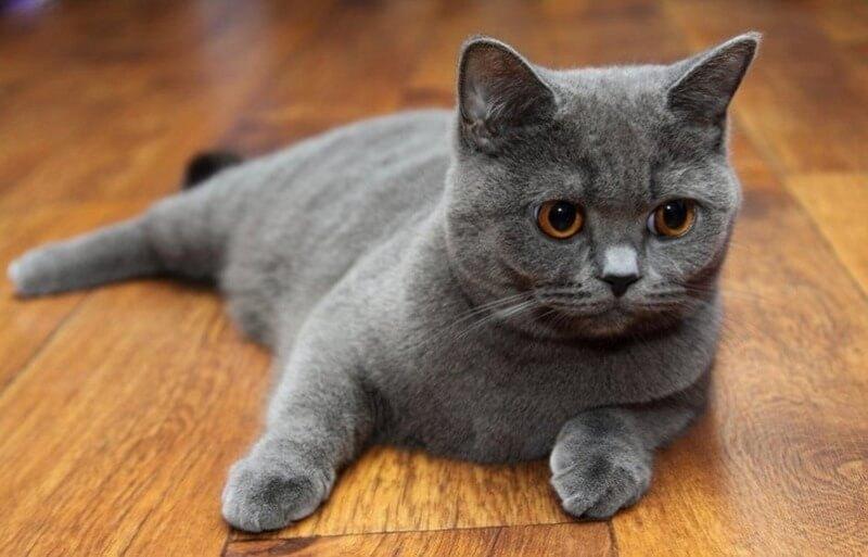 серая кошка скоттиш-страйт