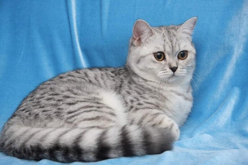 уход за шотландскими кошками