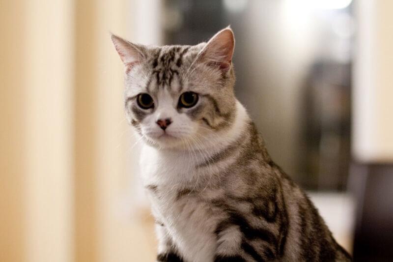 Зовнішність шотландського прямовухого кота