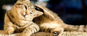 лупа у кішок