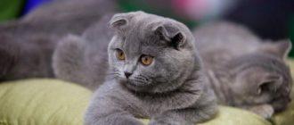 шотландська висловуха кішка