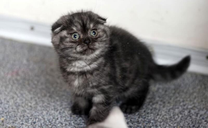 димчасте забарвлення шотландське висловухе кошеня
