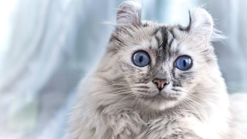 порода кошек Американский керл