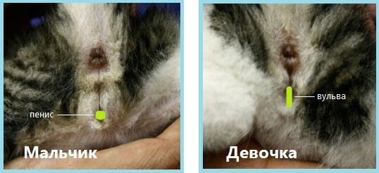 формы гениталий у котят
