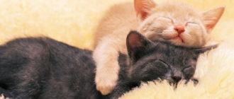 как подружить кошек