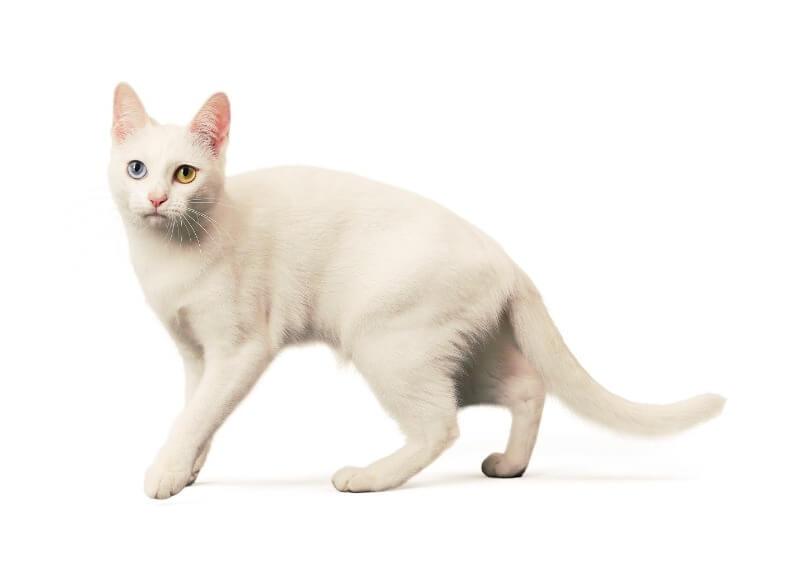 као-мані кішка