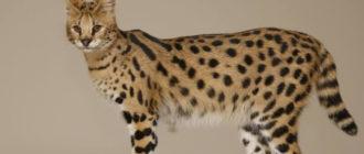 кішка саванна