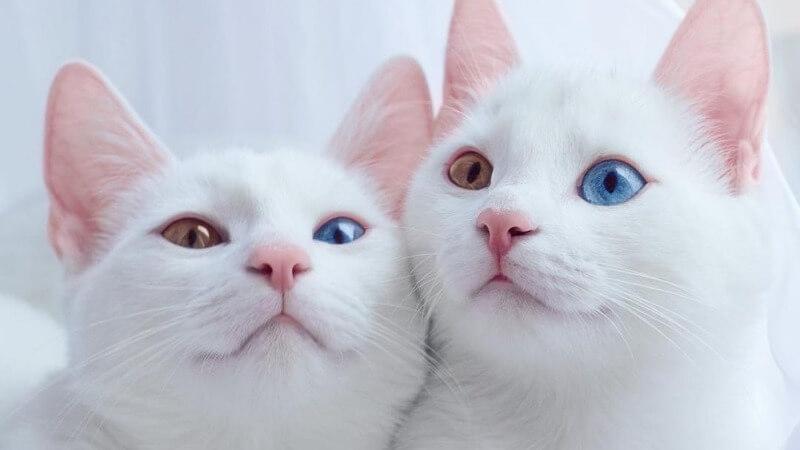 кошки као-мани