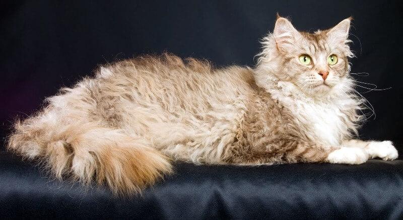 кот породы ла-перм