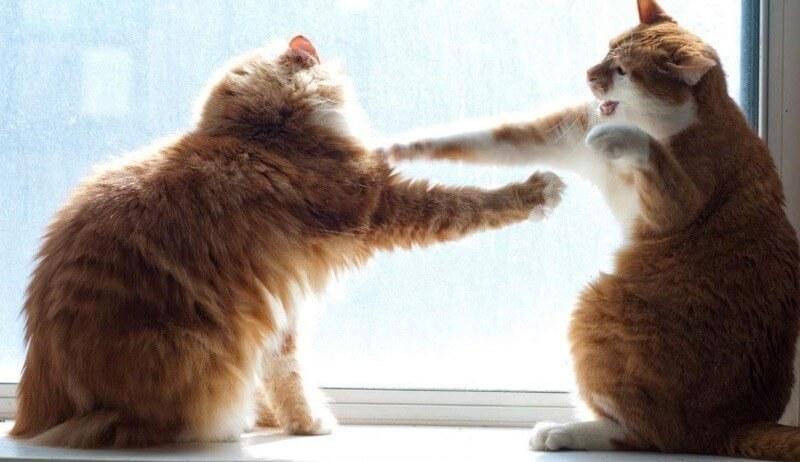 що робити якщо коти б'ються