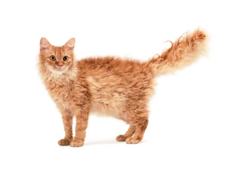 ла перм кот