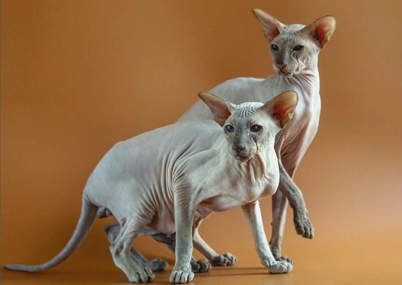 Петерболд кошки