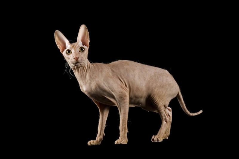 кошка породы Петерболд