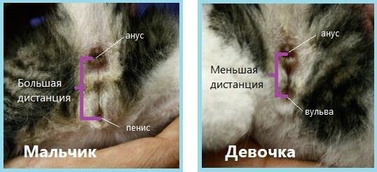 отличие котенка мальчика от девочки