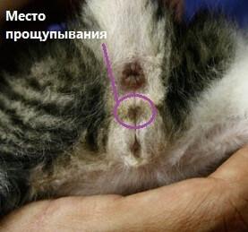 половые органы у котят