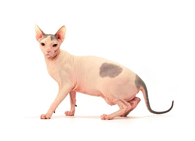 порода кішок сфінкс