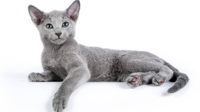російська голуба кошеня